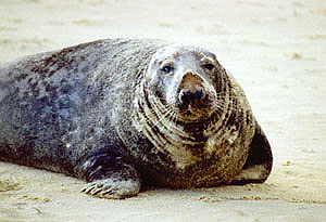Male seal on beach