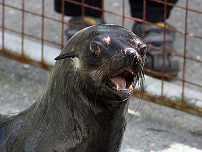 Mika, our resident Fur Seal