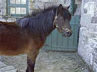 Muffin, a Dartmoor Pony
