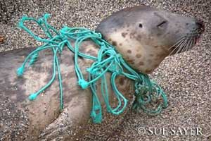 Net tangled seal pup - Photo copyright of Sue Sayer of the Cornwall Seal Group