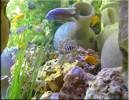 Lake Malawi and Lake Tanganyika Cichlids