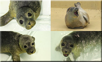 Collage of the rescued seal pups