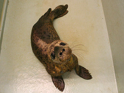 Audrey, a rescued grey seal pup