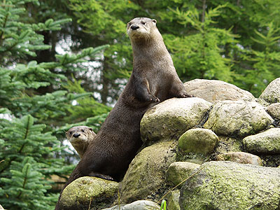 Fingal and Sula, North American Otters
