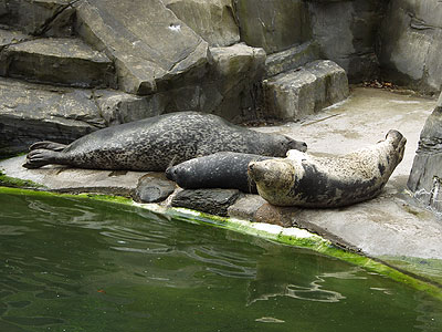 Resident Common Seals