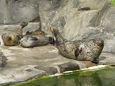 Resident Common (Harbour) Seals