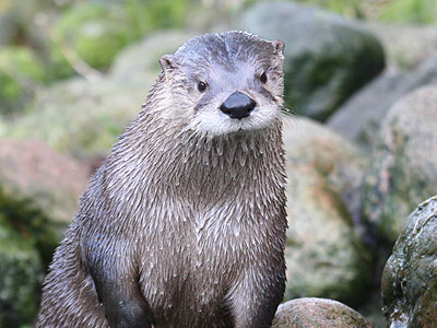 Fingal, North American Otter