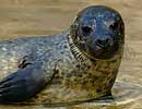 Lora, Resident Common (Harbour) Seal