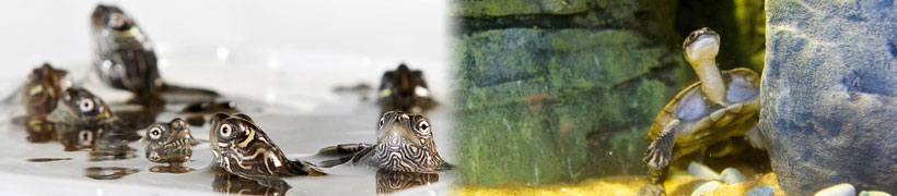 Photos from left to right - Mississippi Map Turtles and Snake-Necked Turtle