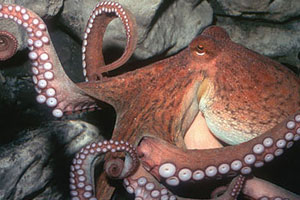 An image of a Giant Pacific Octopus