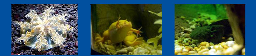Photos above from left to right - Upside-down jellyfish, African Clawed Frog and Axolotl
