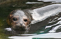 A rescued seal pup