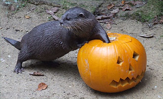 Our otter is  so enjoying the pumpkin