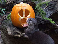 One of our otters enjoying the pumpkins!
