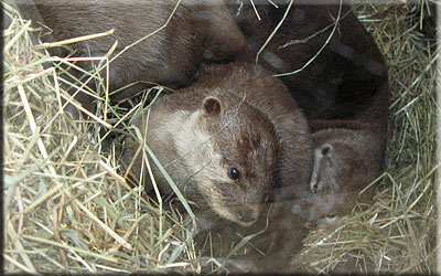 Otters nearly asleep in their holt