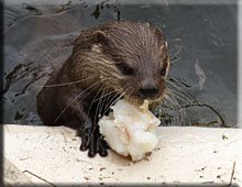 One of the otters enjoying their ice lolly