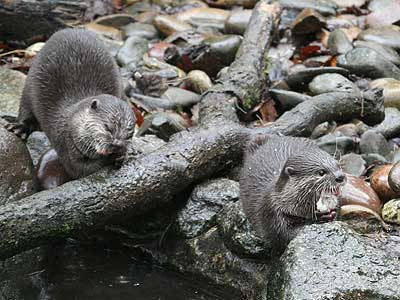 Bamboo and Thai our Otters