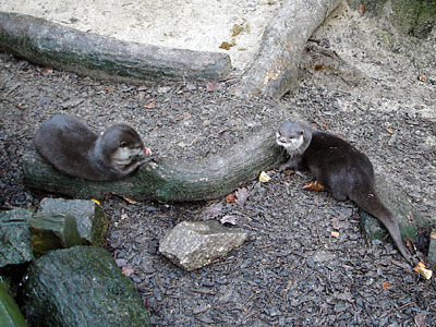 Thai and Bamboo, our Otters