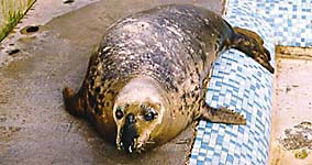 Paula, injured adult seal