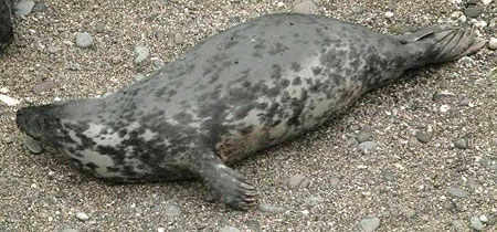 Photo of Pebbles was taken by Sue Sayer of the Cornwall Seal Group