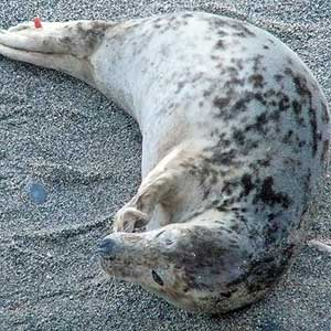 Pebbles - Photo copyright of Sue Sayer (www.cornwallsealgroup.co.uk)