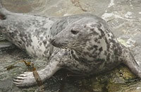 This photo of Pebbles was taken on 28th May 2009 by Sue Sayer of www.cornwallsealgroup.co.uk