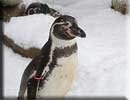 Beau, our resident Penguin, in the snow