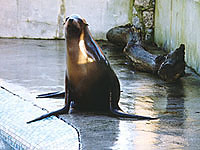 Pepper, a Californian sea lion