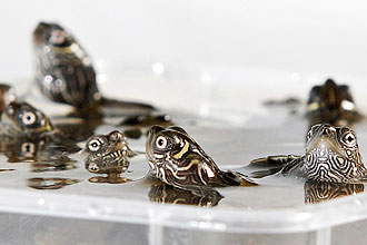 Mississippi Map Turtles