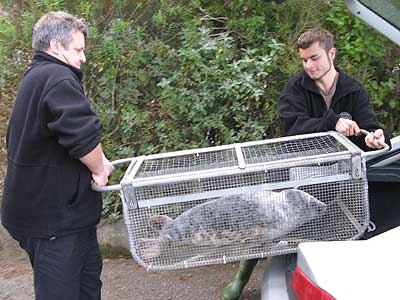 Ellie - 2007/8 rescued seal pup.  Dave and Dan Jarvis of the BDMLR carrying the seal pup to the isolation pen in the hospital.