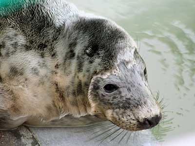 April, a rescued grey seal pup from the 2007/8 season