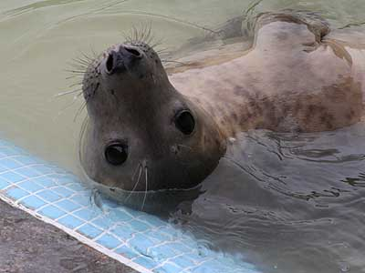 Davy, a rescued grey seal pup from the 2007/8 season
