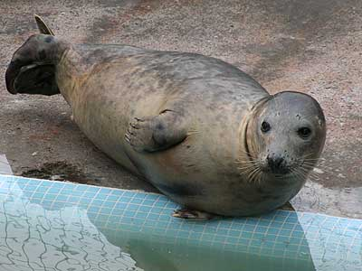 Hannibal, a rescued grey seal pup from the 2007/8 season