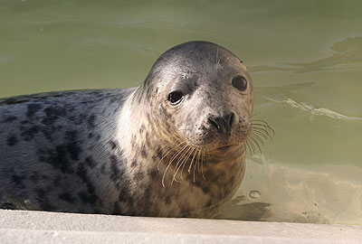 Oscar, a rescued grey seal pup from the 2008/9 season