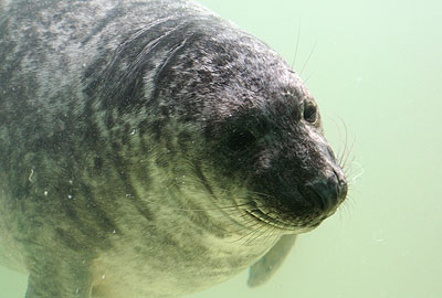 Hubbard, a rescued grey seal pup from the 2008/9 season