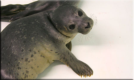 Pop, a rescued common seal pup (2008/9 season)