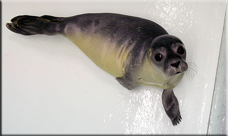 Candy, a rescued common seal pup (2008/9 season)