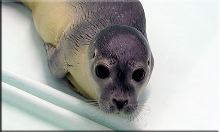 Floss, a rescued common seal pup (2008/9 season)