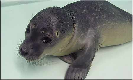 A rescued common seal pup (2008/9 season)