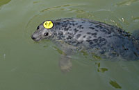 Photo was taken of Quinn on 26th of February 2006 in one of the nursery pools wearing hat tag ID 05 and flipper (light green) tag number 11