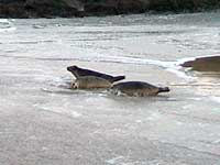 Seals being released back into the wild