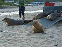 Seal pups coming out of the trailer as Jenifer (front) changes her mind! - 17th June 2008