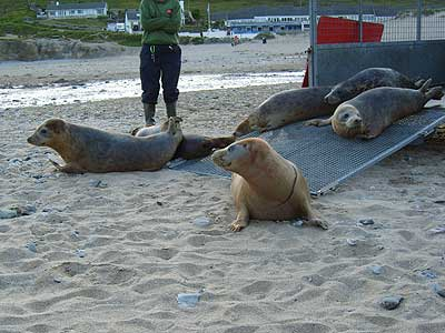 Seal pups coming out of the trailer as Jenifer (front) changes her mind!