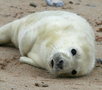 Seal Pup in the wild