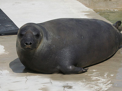 Sahara, Arctic Hooded Seal