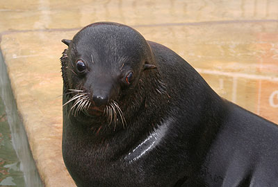 Andy, our resident fur seal