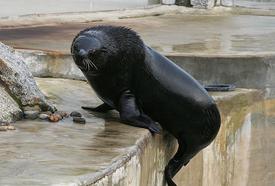 Chaff, our fur seal