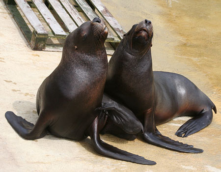 Noito (left) and Diego (right) - young male Patagonian Sea Lions