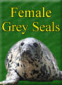 Female Grey Seals Residents