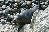 Rimmer in the common seal pool - photo was taken by Rachael Vine on 26th February 2007